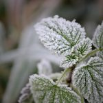 Green plant covered with frost