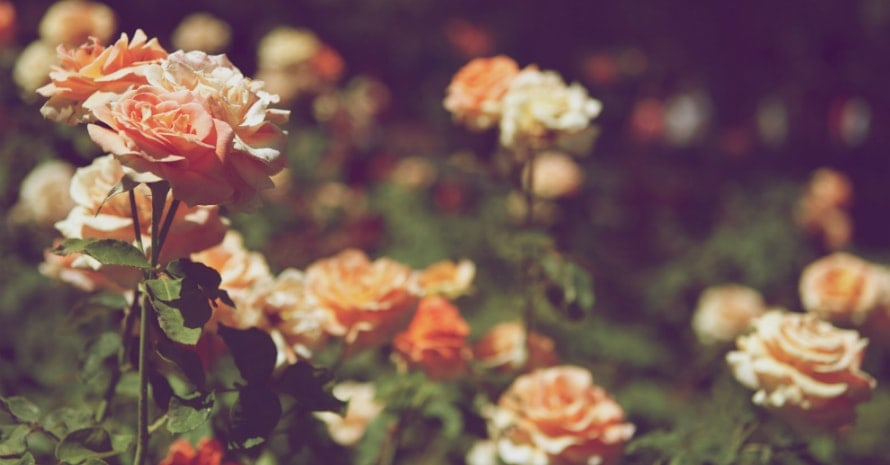 roses in the flowerbed