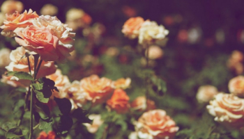 Best Insecticide for Roses: Make Your Garden Outstanding