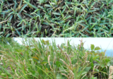 St Augustine Vs Bermuda: Choosing Grass Type for Your Compound (Updated in 2020)